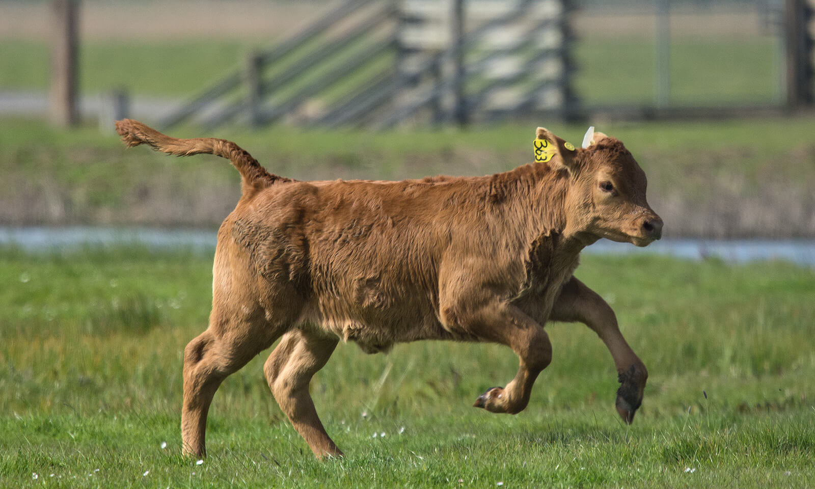 fiv em bovinos