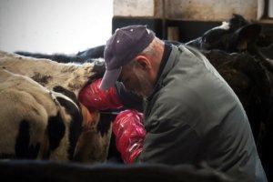 inseminação artificial em bovino