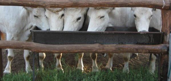 pesagem de bovinos