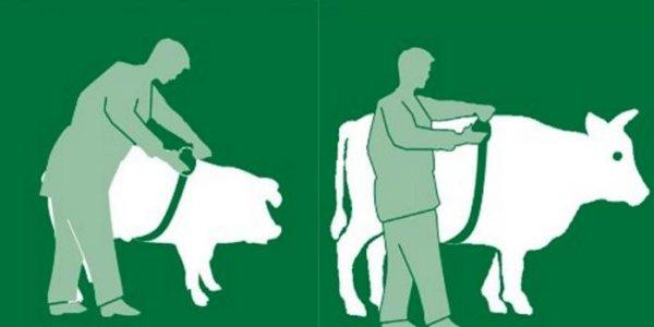 pesagem de bovinos fita métrica