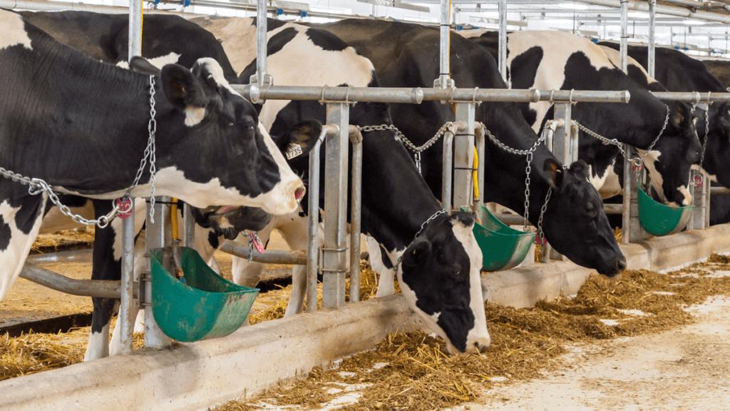 confinamento de gado