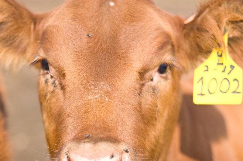 brinco bovino