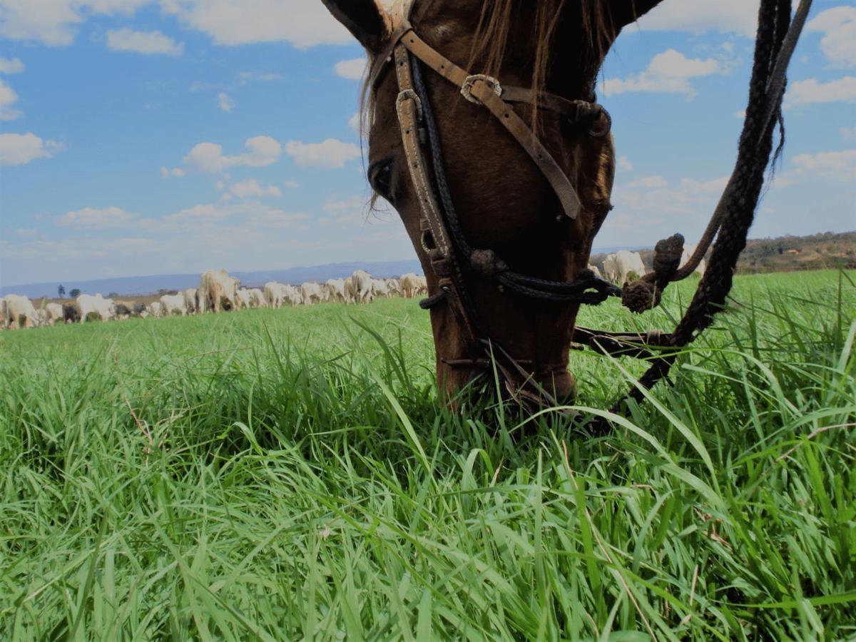Tifton 85 com cavalo se alimentando.