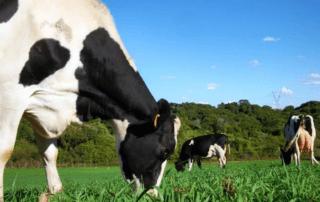 Doenças Metabólicas em Vacas Leiteiras - Vaca Holandesa.