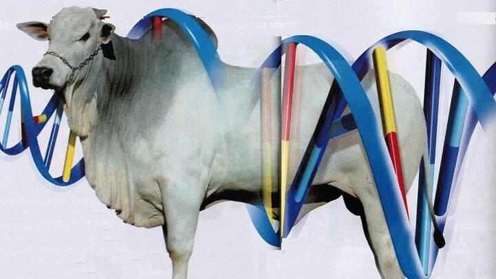 Melhoramento genético em gado de corte.