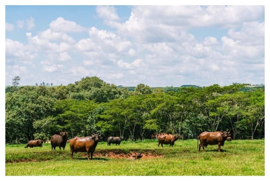 criadores de búfalos
