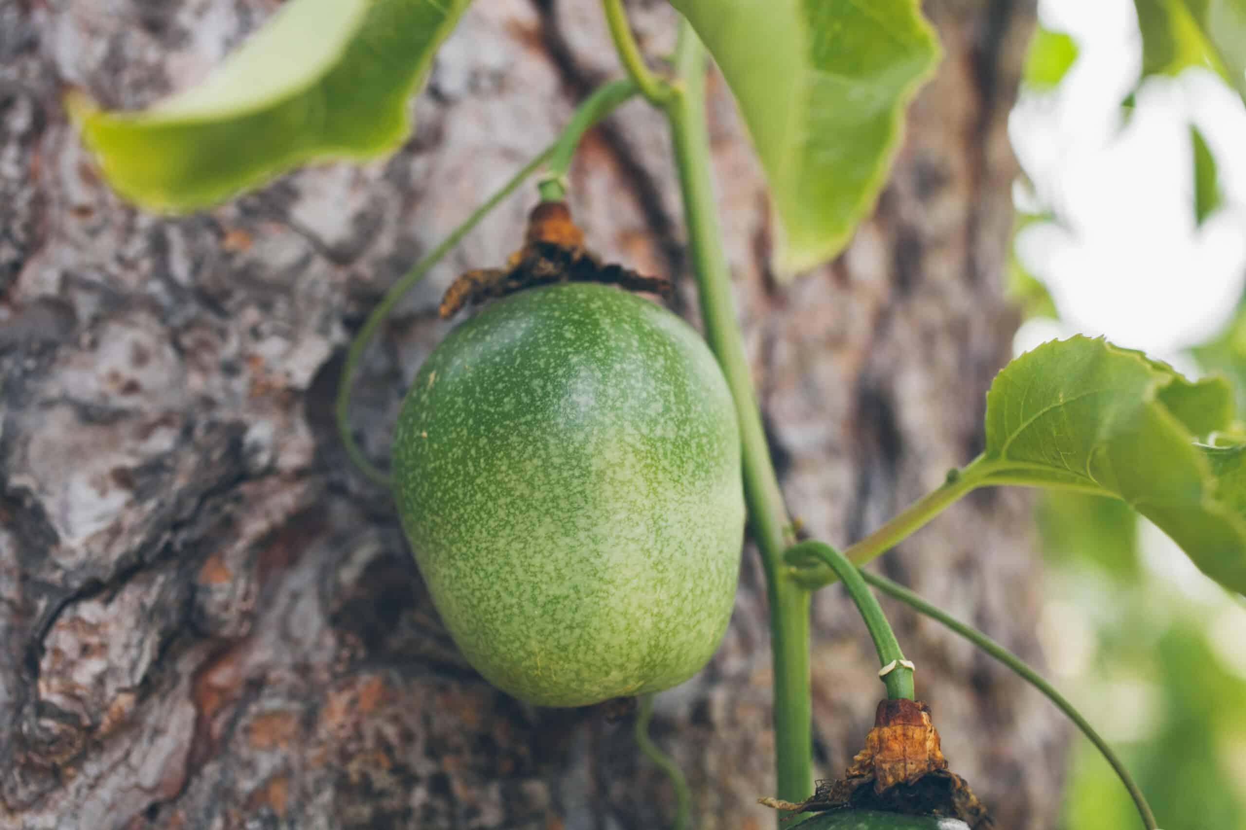 plantio de maracujá