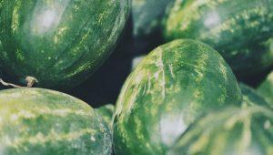 Plantio de melancia
