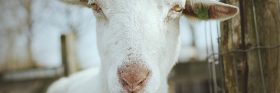 cabras leiteiras
