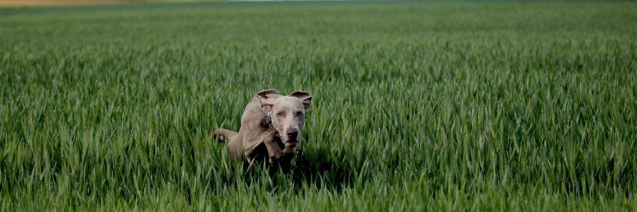 Cães de pastoreio