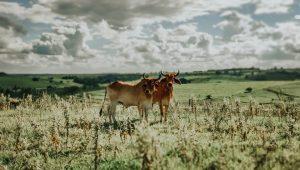 Roubo de gado