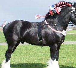 raça de cavalo shire