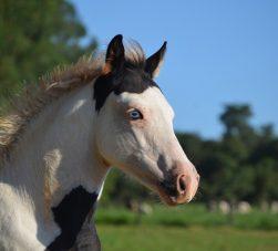 Raça de cavalo Paint Horse