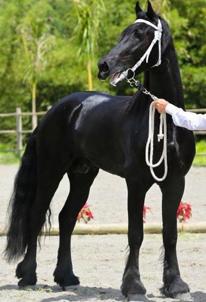 Cavalo Frisio