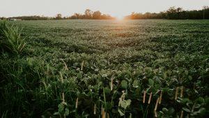 colheita da soja