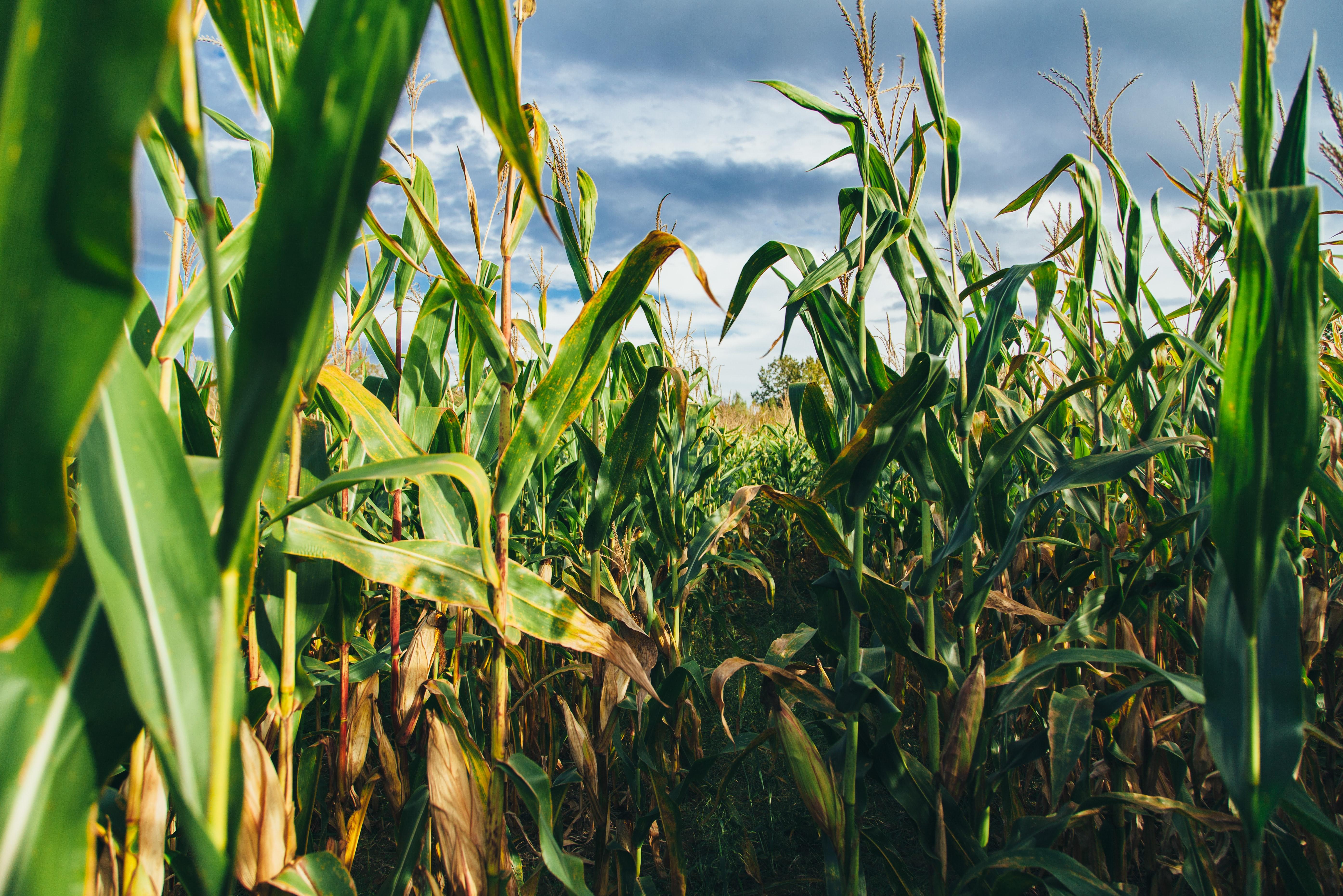 Fazenda com plantio de milho