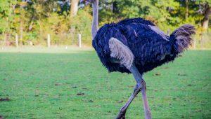 Criação de avestruz
