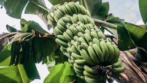 Plantio de banana