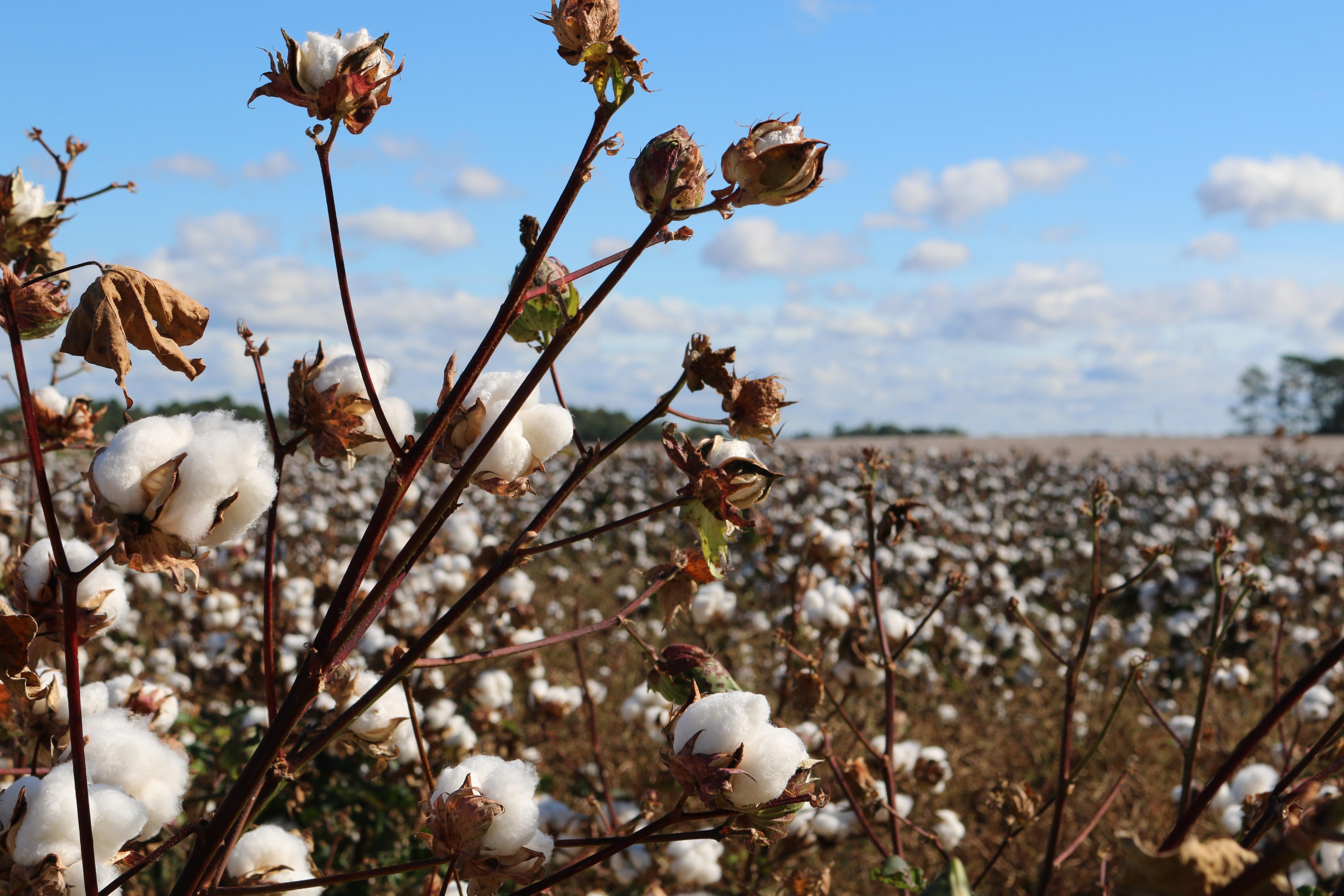 Uma plantação de algodão no Brasil