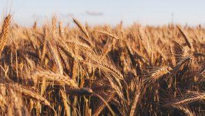 Plantio de trigo: dicas para melhorar a produtividade