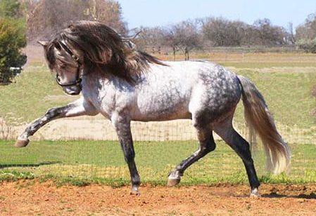 Cavalo Andaluz: conheça essa raça que é referência nos esportes