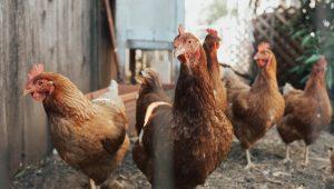 Saiba como fazer uma criação de galinhas de sucesso